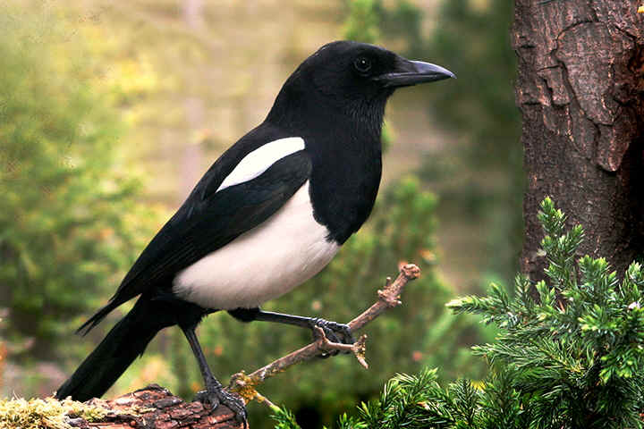 The Garden Magpie (by Jake)